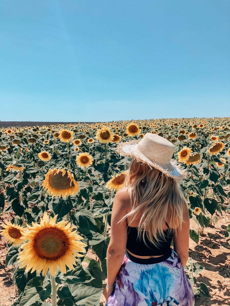 Valensole Sunflowers